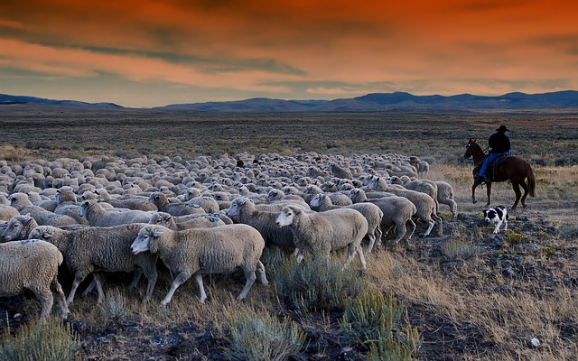free photo idaho grazing sheep man horse free image