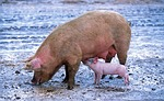 pig, sow, piglet