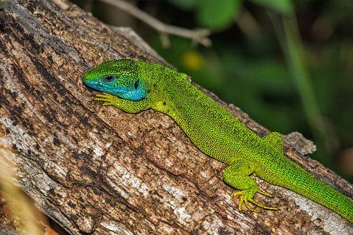 Lizard, Green Lizard, Reptile, Green