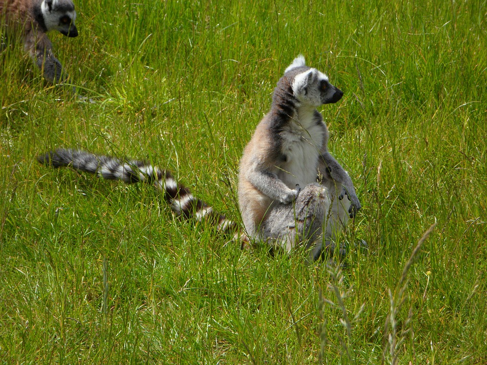ringtailed lemur animals hd wallpapers and photos