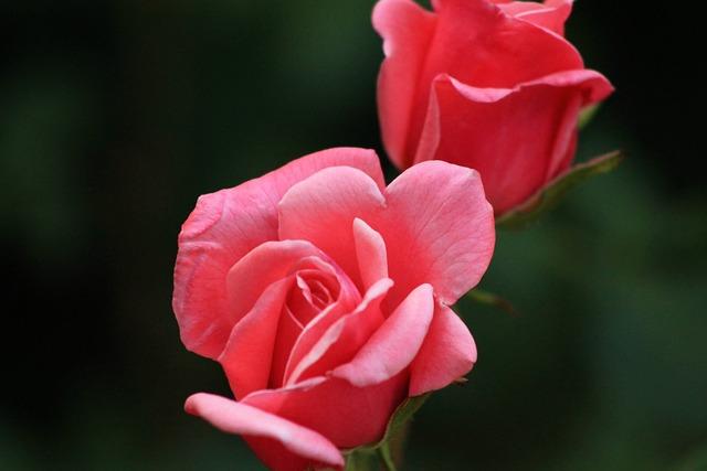 Free Photo: Rose, Red Rose, Nature