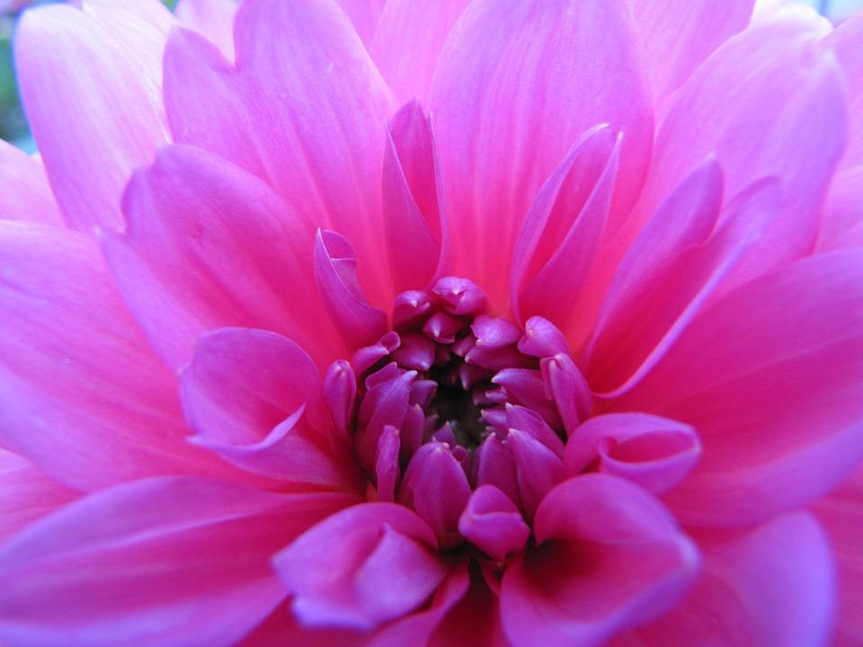 Bunga Dahlia Warna Merah Muda Foto Gratis Di Pixabay
