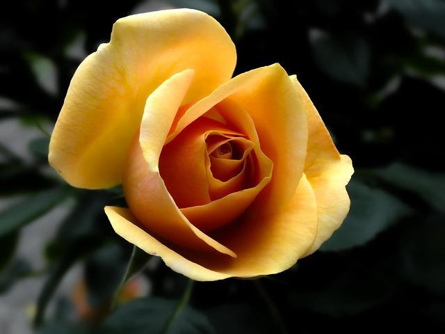 Free Photo: Rose, Orange, Flowers, Flower