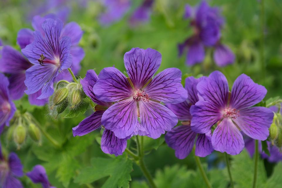クレインズビル, 花, スタンプ, 植物, バイオレット, 紫, ゼラニウム Platypetalum