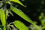 stinging nettle, leaves