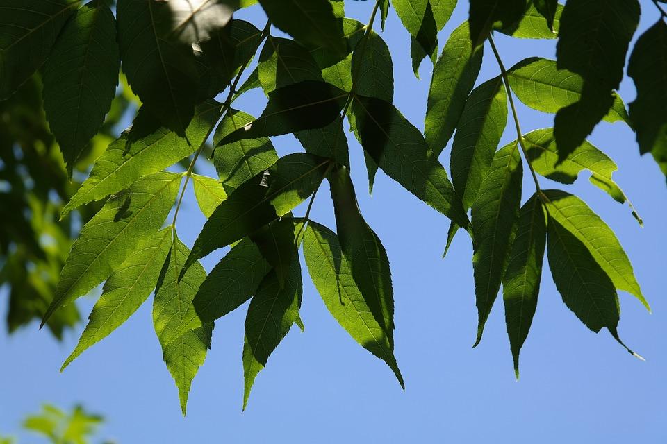 葉, 緑, 木, 灰, 共通の灰, 普通の灰, 高灰, トネリコ エクセルシ オール, ツリー, 落葉樹