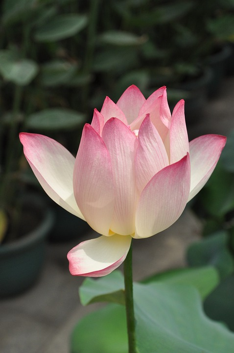 free photo lotus, pink lotus, flower, plant  free image on, Natural flower