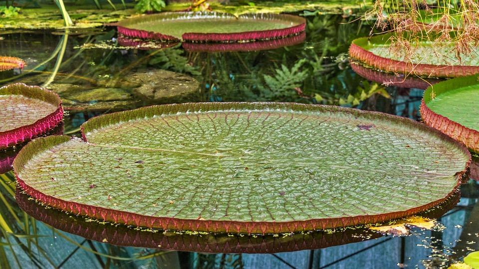Planta, Planta Acuática, Flor