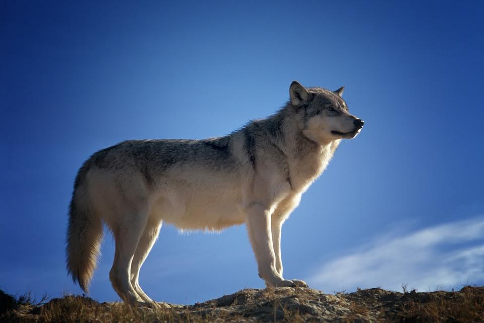 狼と犬の違い|大きさ/性格/見分け方など・ハイブリッド