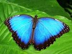 motyl, niebieski, owad