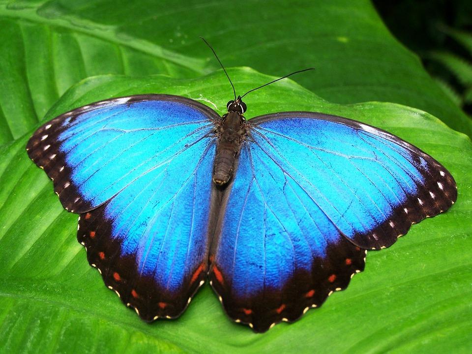 Farfalla, Blu, Insetto, Morphofalter Blu