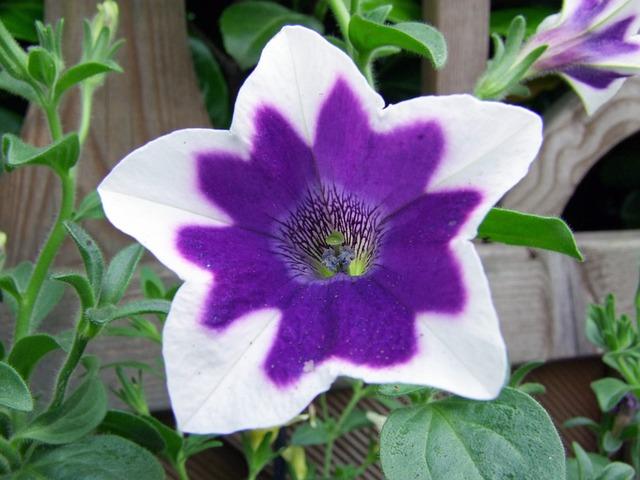 Petunia Blossom Bloom · Free Photo On Pixabay
