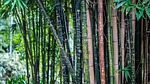 bamboo, tall, trees
