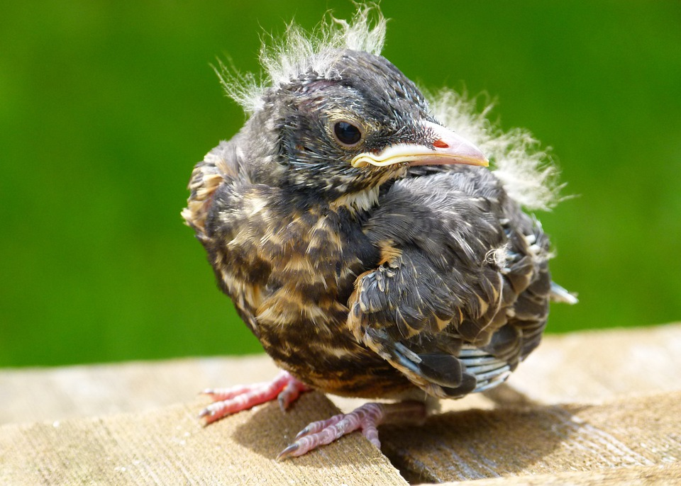 Red Robin Chick Young - Free photo on Pixabay