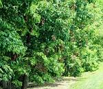 drzewa, listowie, insektami