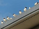 gulls, animal, birds