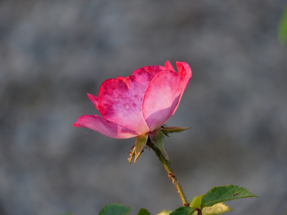 Rose, Flower - Free images on Pixabay