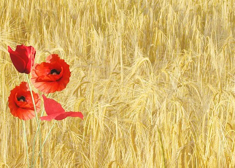 Red Poppy, Papaver Rhoeas, Corn Field