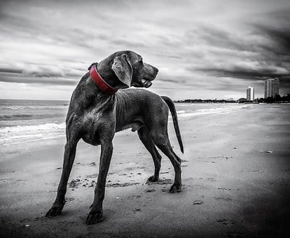 Weimaraner, Dog, Beach, Pet, Black