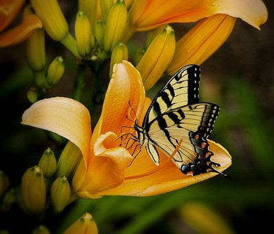 Butterfly, Swallowtail, Papilio, Animal