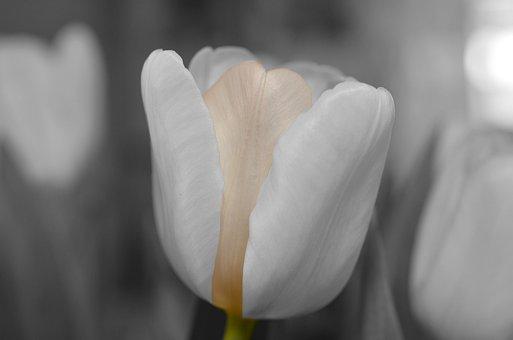 Fleur, Blanc, Tulip