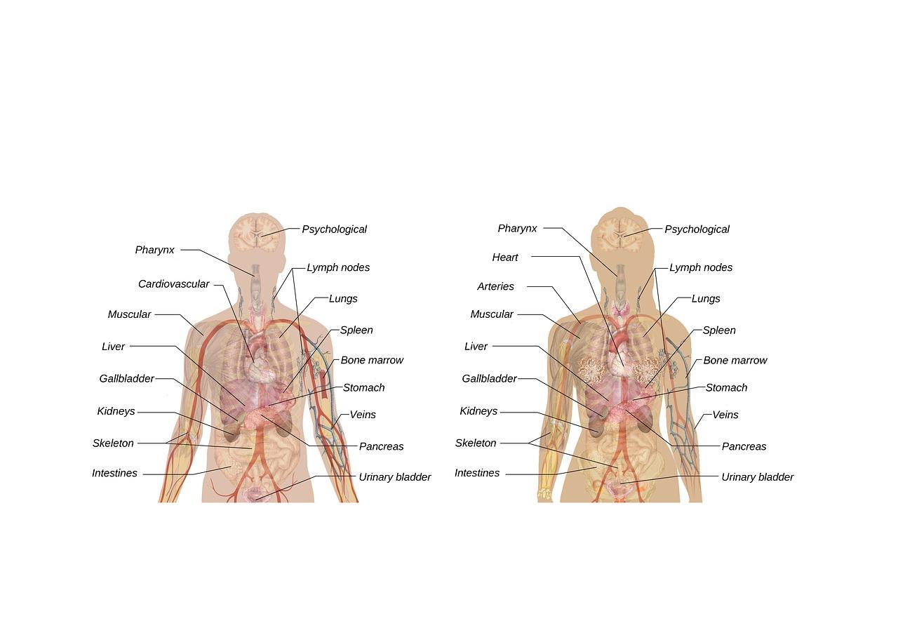 Kroppens Anatomi Kvinne