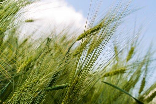 Grain, Field, Green, Detail, Growing,rice flawer,