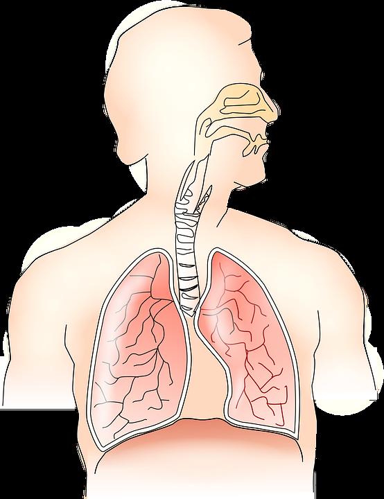 Anatomie Lunge Atmung · Kostenlose Vektorgrafik auf Pixabay