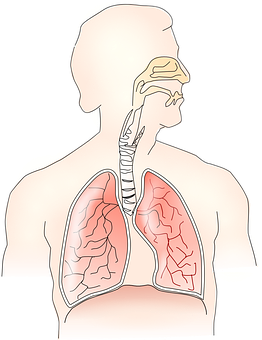 Anatomy Lungs Breathing Human Health Respi