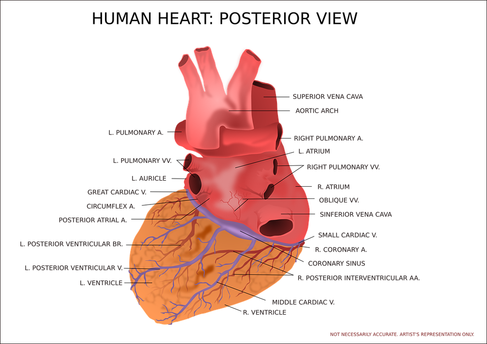 Heart Ventricle Organ · Free vector graphic on Pixabay