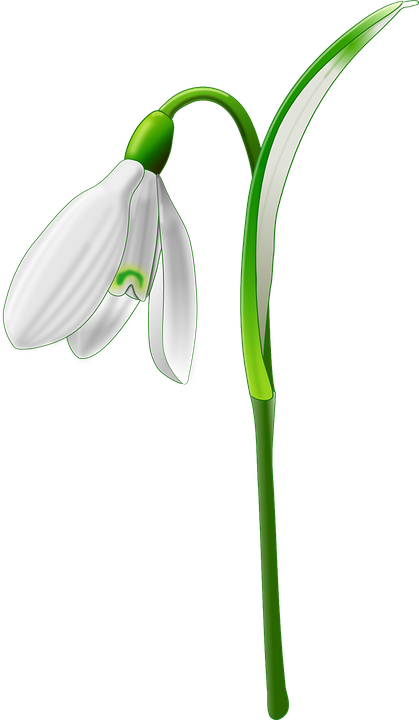 Galanthus, Flor, Jardín, Naturaleza, Primavera
