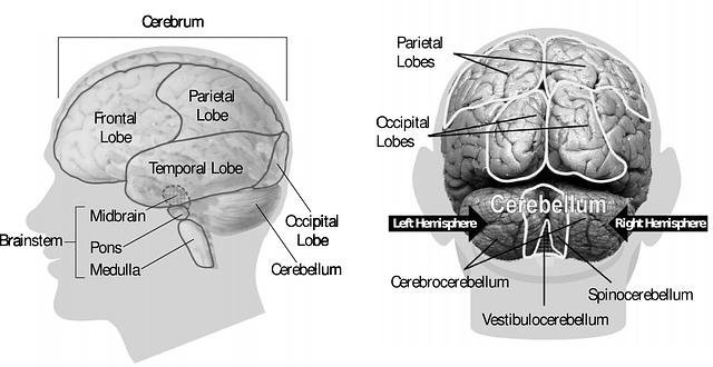 brain human anatomy  u00b7 free vector graphic on pixabay