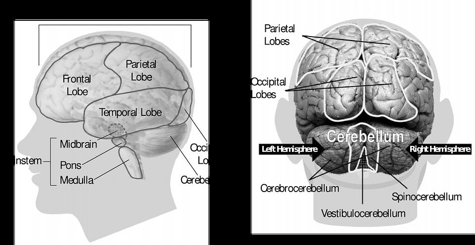 Gehirn Menschliche Anatomie · Kostenlose Vektorgrafik auf Pixabay