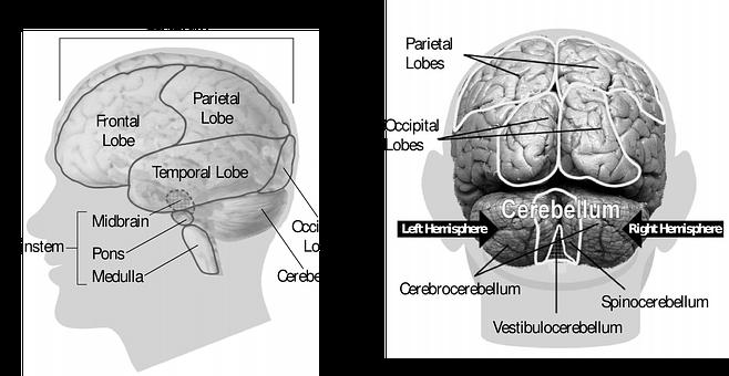 Brain, Human, Anatomy, Organ, Medicine