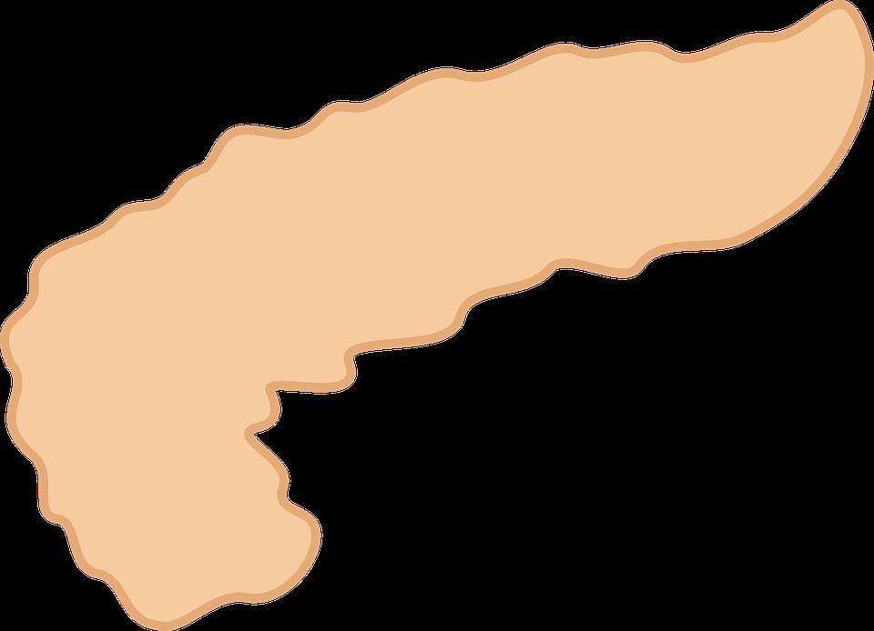 Páncreas Medicina Órgano · Gráficos vectoriales gratis en Pixabay