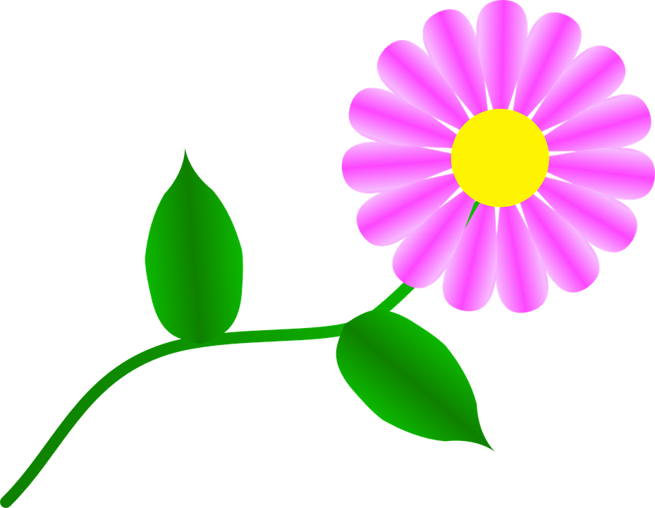 Fuchsia Daisy Bunga Gambar Vektor Gratis Di Pixabay