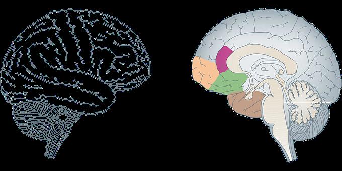 Cerveau, Humaine, Anatomie, Médecine