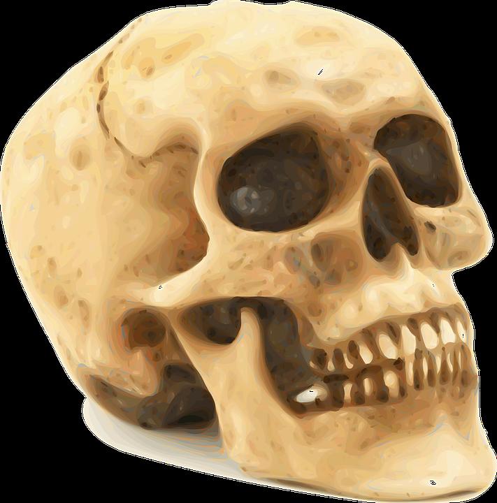 Skull Anatomy Bones · Free vector graphic on Pixabay