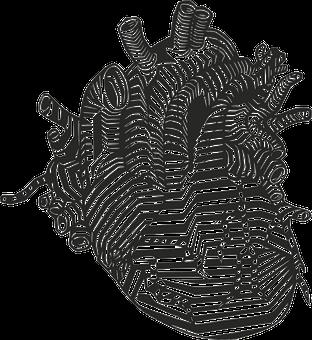 Corazón, Venas, Arterias, Anatomía