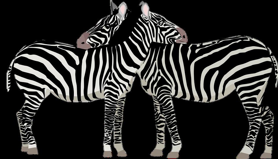 What If the Zebras Lost Their Stripes?: John Reitano Free photos of zebras