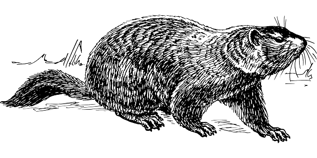 Groundhog Animal Biology · Free Vector Graphic On Pixabay