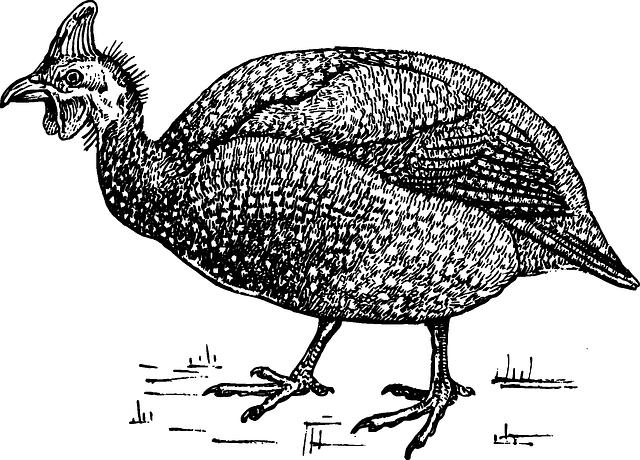 Kostenlose vektorgrafik fasan vogel ornithologie tier kostenloses bild auf pixabay 153028 - Dessin pintade ...