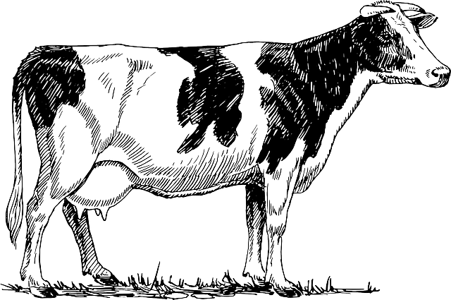cattle cow animal  u00b7 free vector graphic on pixabay