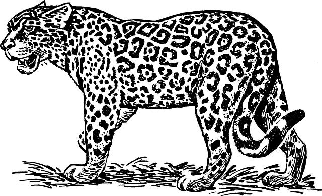 kostenlose vektorgrafik  leopard  wildkatze  maneater