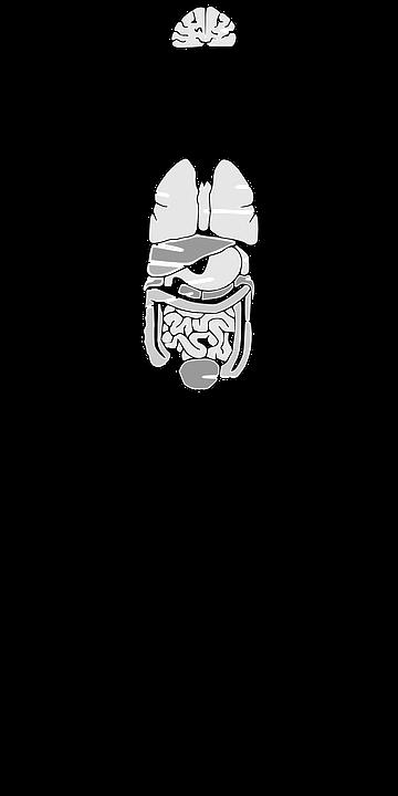 Órganos Anatomía Cerebro · Gráficos vectoriales gratis en Pixabay