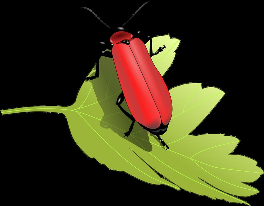 Coccinelle, Scarabée, Insecte, Insectes, Feuilles