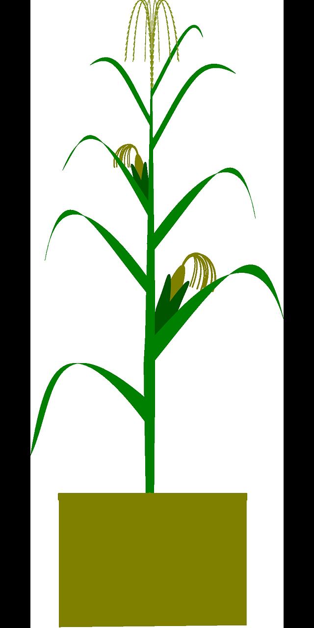 Jagung Pertanian Biologi Gambar Vektor Gratis Di Pixabay