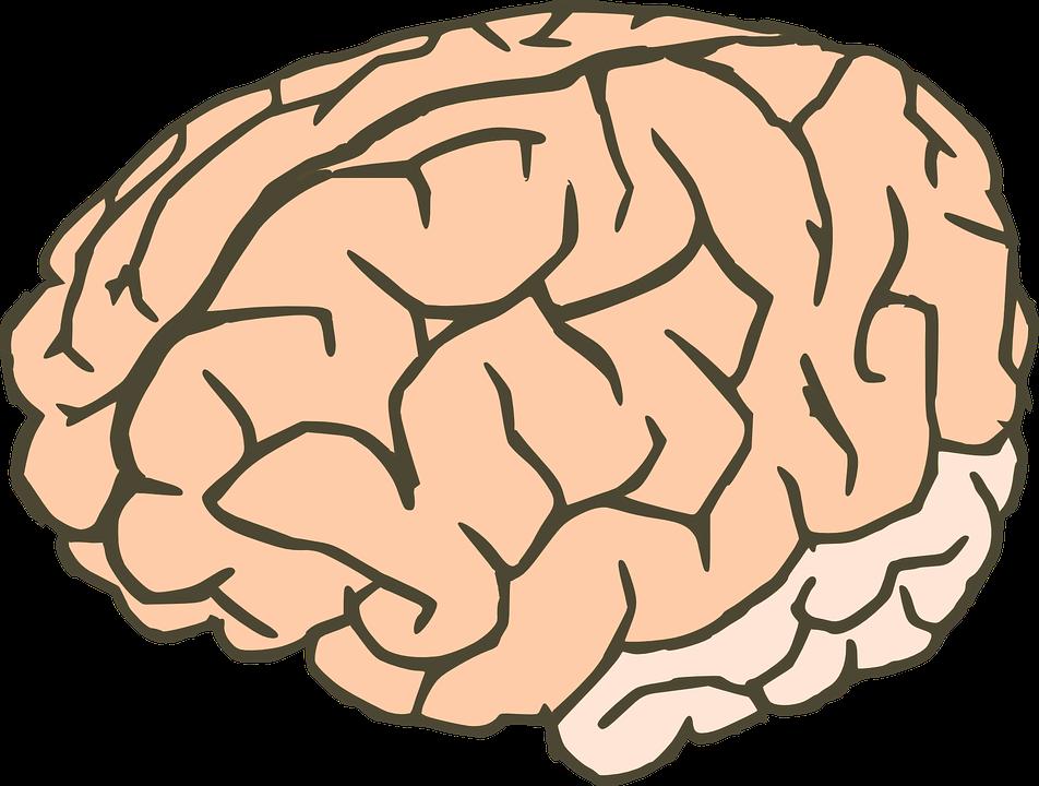 Gehirn Wissen Anatomie · Kostenlose Vektorgrafik auf Pixabay