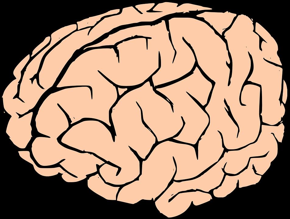 Brain Human Knowledge · Free vector graphic on Pixabay