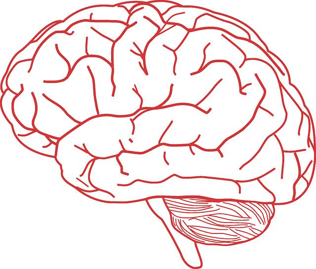 otak manusia anatomi gambar vektor gratis di pixabay